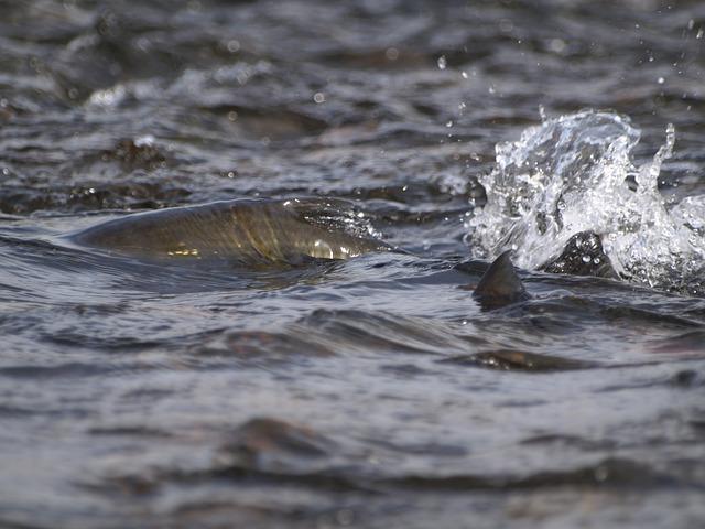 salmon-302048_640