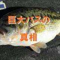 :[奇跡の湖] 琵琶湖のバスが巨大化した理由
