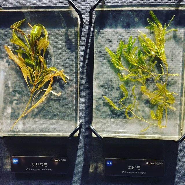 エビモとササバモの違い、ご存知でしたでしょうか…#琵琶湖 #ウィード #水草 #今後はますます重要になる? #まとめてエビモ系とか呼ばれますが #実は南湖で見るのはほとんどササバモらしいです…