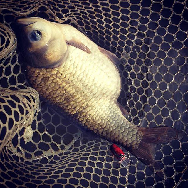 プリップリのランカー鮒キャッチ(笑)。イヴォークと大きさ比べてみて下さい…#琵琶湖 #巨フナ #プリスポーン #このお腹はさすがにヤバイ #たぶん2kgは余裕 #これって何鮒なのでしょうかね???