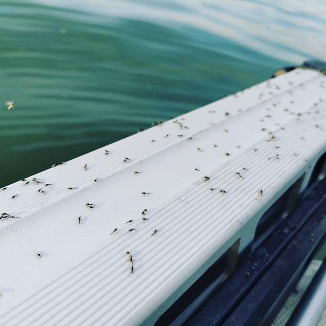 今シーズン最多?のビワコムシ。こういう時ってよく釣れる気がします…#琵琶湖虫 #大量発生 #風が無く暖かな日 #正式名称は何でしょう? #大きさも色々 #小魚たちの餌になる? #バスが浮くタイミングの目安にしています…