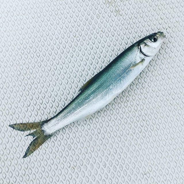 北湖って、ホントに多種多様なベイトがいっぱいですね…#琵琶湖 #北湖 #群れがいっぱい #これはウグイっ子? #同じエリアに浮いてても #色んな魚群が同時に混在 #魚探の映り方次第で #大まかに見分けられるかも…
