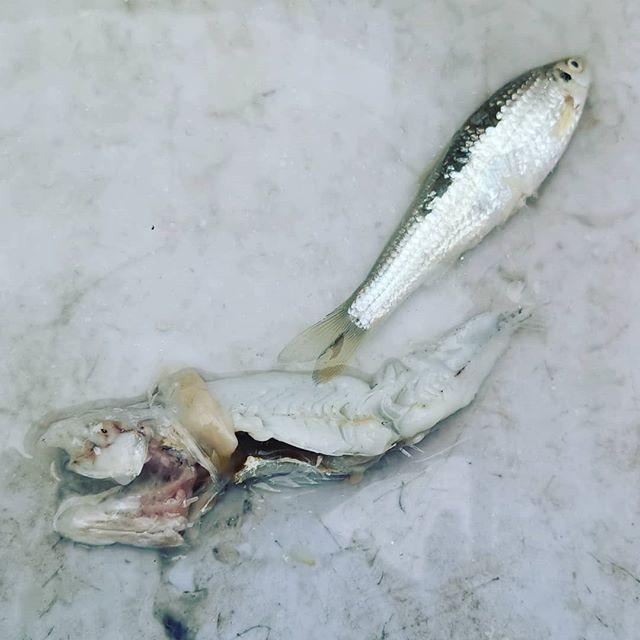 おなじみのベイト調査。今回はこれをずっと追いかけておりました…#琵琶湖オープン #biwakoopen #バスフィッシング #モロコ #泳ぎ回るワカサギと違って #比較的群れの足が遅い? #バスの動きを理解するには #まずベイトを知らなきゃと実感する今日この頃です…