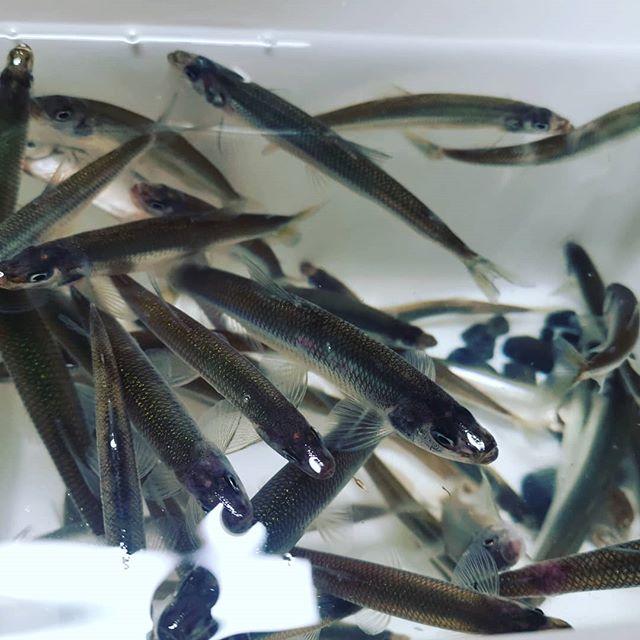 釣りに出られないのでワカサギすくい。暖かいせいか魚影は薄い気がしますね…#琵琶湖 #新たな風物詩 #ワカサギ #産卵 #夜の浜辺に寄ってくる #網ですくうだけですが #数が少ないので効率悪い #本番はまだこれからでしょうかね…