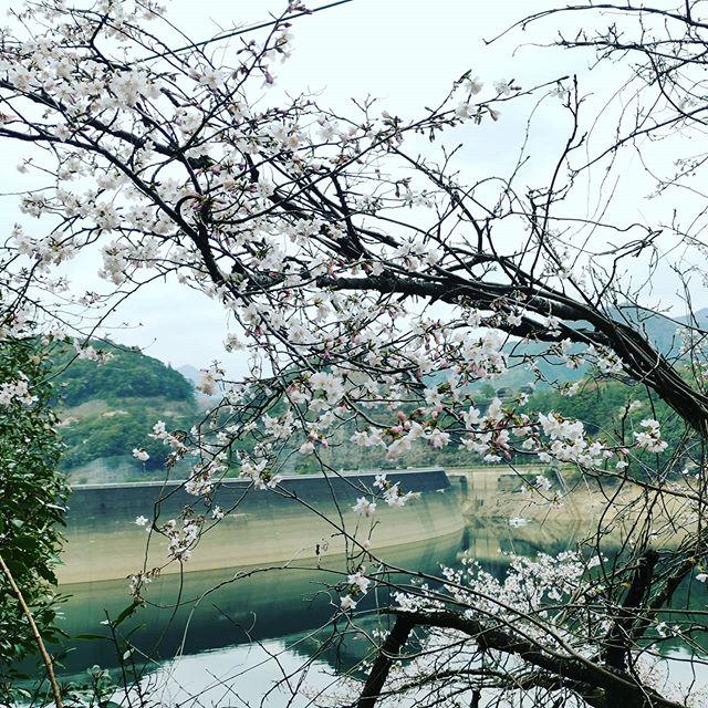 イケハラに咲く山桜。来週のバスオブジャパン開幕戦、花を咲かせられるといいなぁ…#池原ダム #バスフィッシング #まだまだ全然攻略出来てませんが #とにかくやれるだけの事はした #後は本番頑張るのみ #早く帰ってバサクラLIVE観たいです…