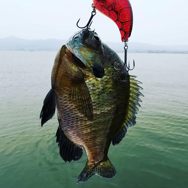 久し振りに絶滅危惧種(?)をキャッチ!ちょっと回復してきてるかも…?#琵琶湖 #ブルーギル #イヴォーク2.0 #ちゃんとフロントフックにフッキングw #こんなにデカいの久しぶりです…